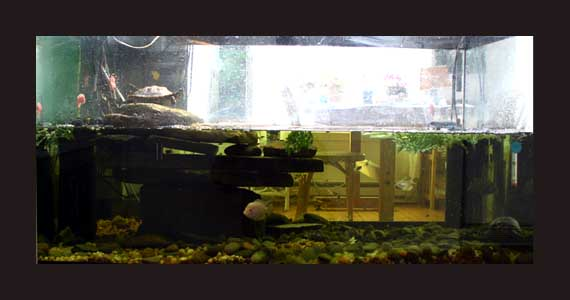 The 120 gallon tank is half full, gravel substrate, many rocks and a ... Guppy Fish Eggs In Tank